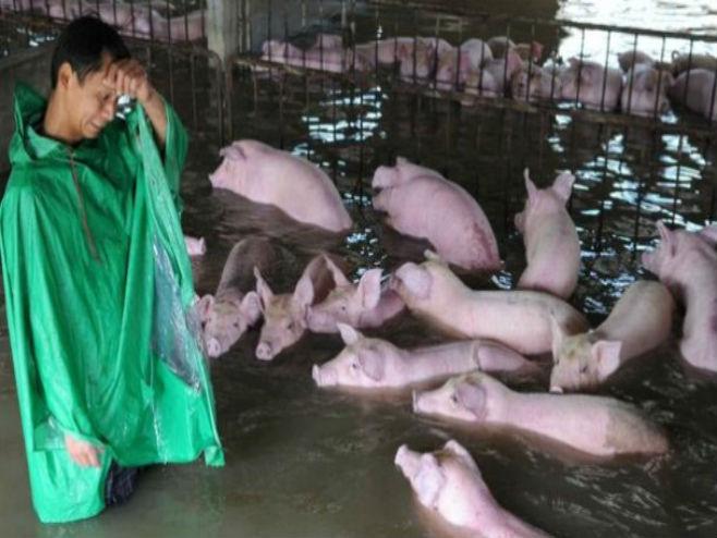 Збогом, свиње моје! (Фото: Weibo/BBC)