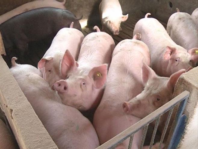Свиње - Фото: РТРС