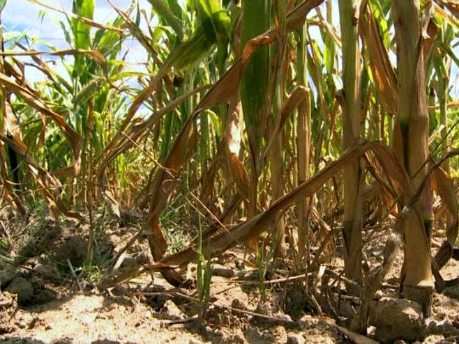 Штете на кукурузу - Фото: РТРС