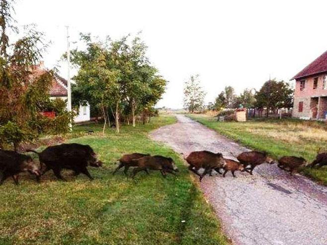 Крдо дивљих свиња протутњало српским селом (Фото: Горан Бошњак)