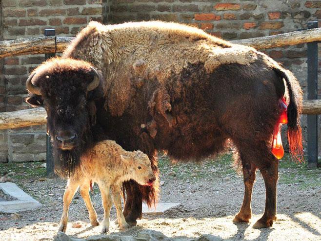 На Келемегдану се родио бијели бизон