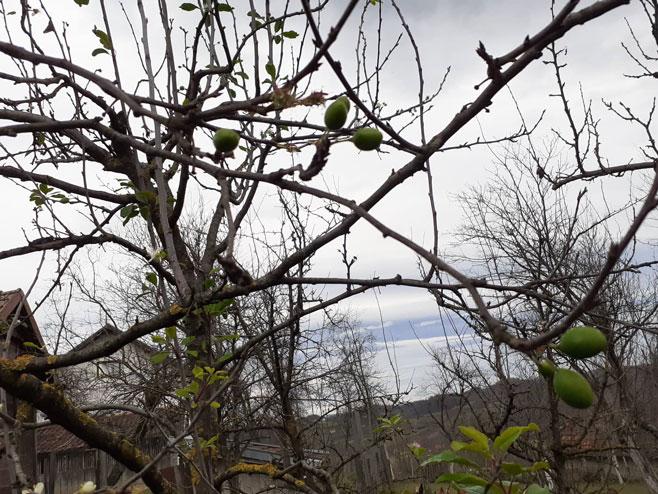 Procvjetala i rodila šljiva u novembru (Foto: RTRS)