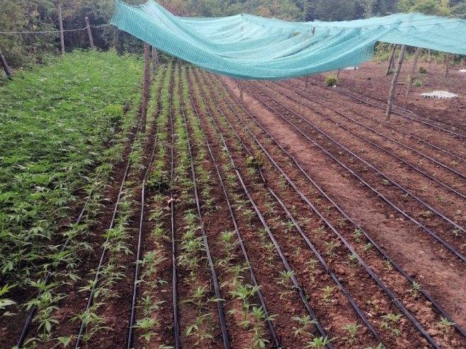 Otkriven kamp za proizvodnju i uzgoj marihuane (Foto: SRNA)