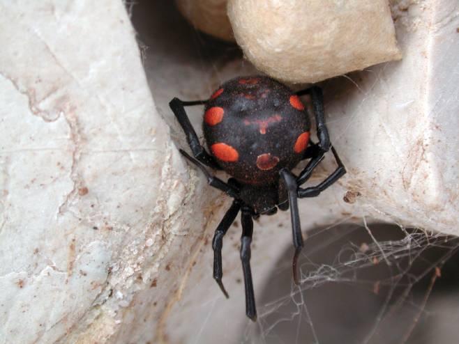 Pauk crna udovica (Foto: Boris Belamarić) -